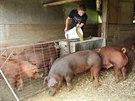 Americká palírna Templeton Rye chová prasata, která mají jít k její whisky.