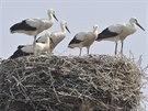 V Libivé na Šumpersku se narodilo pět mláďat čápů bílých. Podle ornitologů je...