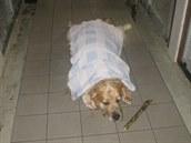 Když zlatého retrívra stabilizovali, převezli ho na veterinární kliniku....