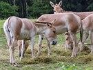 Vzácné onagery v současnosti chová z českých a slovenských zoo jen ta ostravská.