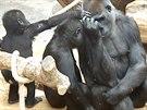 gorily, Zoo Praha, Bikira, Nuru, Kiburi