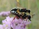 V Hradci Králové v písčinách Na Plachtě se usadily vzácné včely a další hmyz...