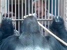 Toto je bezpečný postoj gorilího samce během krmení u mříže