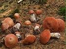 Ve větším množství začali růst v Beskydech i poměrně vzácní křemenáči smrkoví.