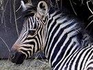 Hodonínská zoo se může pochlubit také jedním přírůstkem. V červnu se tam...