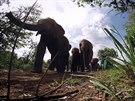 Sloni se v Keni vydávají na oběd.