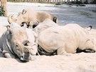Vzácní bílí nosorožci Nesárí, Súdán, Nabíré a nejmladší Fatu při odpočinku v...