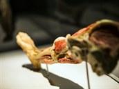 Některé exponáty teď budou zcela nové: třeba rozporcované tělo běžce či mozek...