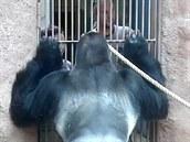 Trénink bezpečného postoje gorilího samce u mříže - dokud Richard nemá ruce...