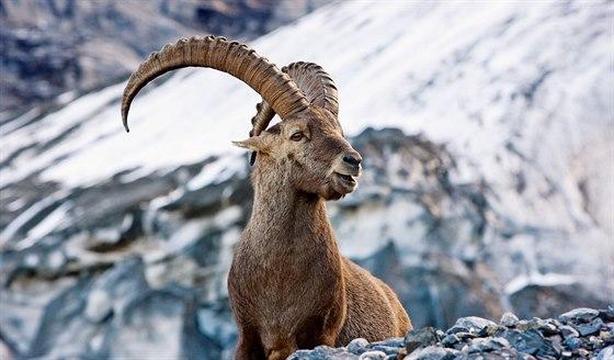 Kozoro�ci jsou symbolem nejv�t��ho �v�carsk�ho kantonu Graub�nden.
