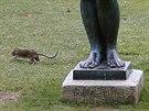 Krysa běží kolem sochy Maillol v Tuilerijské zahradě v Paříži. (29. července...