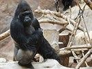 Gorilí samec Richard, respektovaná hlava gorilí rodiny