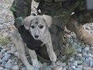 Afghánské štěně Míša, kterému čeští vojáci pomohli najít nový domov