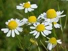 Sušený květ heřmánku je ideální na čaj, který pomáhá na dobré trávení (a...