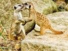 Mláďata surikat ve dvorské zoo.