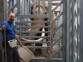 Po úspěšném vážení slupne sloní samec Maxi sušenku přímo z rukou ošetřovatele.