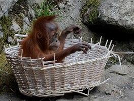Orangutan� sami�ka Diri zkoum� ve venkovn�m v�b�hu prout�n� ko�.