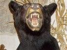 Vycpaný medvěd baribal, kterého přišli celníci zabavit do restaurace v...