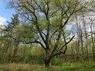 Dub letní v Dolní Krči (významný strom), pozůstatek parku založeného v...