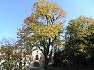 Javor mléč u zámečku v Krči, významný strom a donedávna památný strom, který...