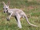 Zhruba tříměsíční klokaní samičku z olomoucké zoo matka odvrhla a proto vyrůstá...
