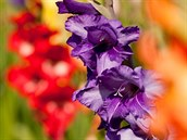 Mečíky patří mezi nejoblíbenější kytky.