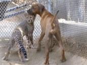 Gepardí mlád� Ruuxa a fenka rhodéského ridgebacka Raina