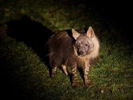 Hyeny jsou v noci aktivn�.