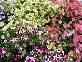 V zahradnictví už testují odrůdy petúnií pro příští rok.