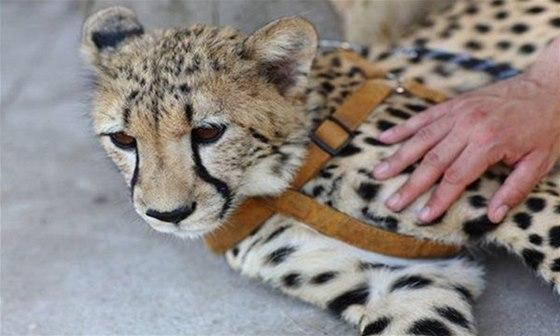 V�t�ina obyvatel chlebsk� zoo je krotk�. Geparda v�ak uvid�te pouze z bezpe�n�