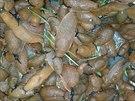Hromádka nachytaných slimáků