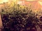 Marihuana z těchto rostlin konopí se k odběratelům rozhodně nedostane.