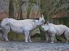 Samice nosorožce dvourohého Eliška s matkou Etoshou ve dvorské zoo.