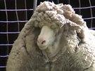 Ovce jménem Shaun má na sobě desítky kilogramů vlny.