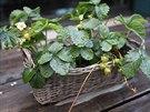 V truhlíkách se snaží pěstovat všechno možné – třeba na venkovní terase kavárny...