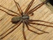 Pokoutník tmavý mívá rozpětí nohou až deset centimetrů. O něco menší a běžnější...