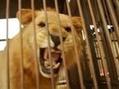 Jeden ze lv�, které osvobozují ochránci zví�at z peruánských cirkus�.