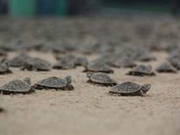 Migrující želví mláďata v brazilské Amazonii