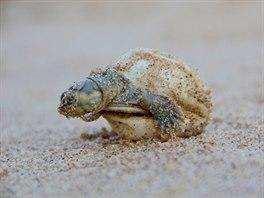 Mládě jihoamerická želvy se vynoří ze své ulity.