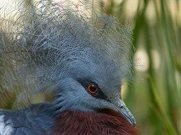 Korunáč Sclaterův je považován za největšího a nejkrásnějšího holuba světa.