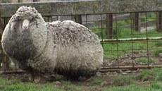 �estiletou ovci, kterou pravd�podobn� nikdo nikdy nest�íhal, objevili farmá�i...