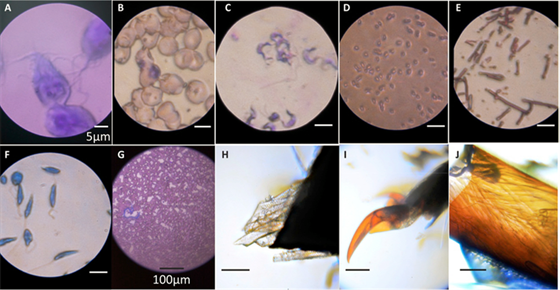 Ukázky obrázků získaných z mikroskopu: (A) Giardia lamblia (2,180X), (B)...