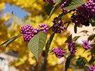 Krásnoplodka Bodinierova(Callicarpa BodinieriiProfusion)