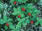 D��n kanadsk�(Cornus Canadensis)