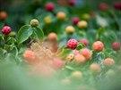 Dřín japonský(Cornus Kousa) s barevnými plody