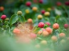 D��n japonsk�(Cornus Kousa) s barevn�mi plody