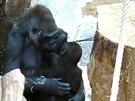Bikira s Nuruem v náruči. Pro tuto samici je to velká šance, jak se naučit...