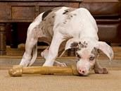 N�kdy se místo kosti pustí psi i do pono�ek. Ilustra�ní snímek.