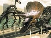 Triceratops v jedníé z výstavních síní American Museum of Natural History.