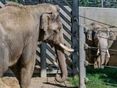 Oba sloní samci poprvé na vzájemný dohled: Ankhor vlevo, Mekong vpravo